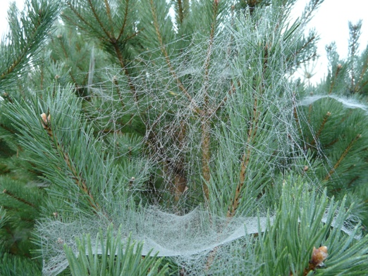 zirnekla-supulis